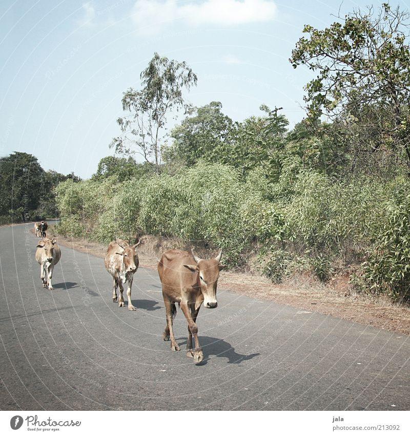 sacred cows Ferien & Urlaub & Reisen Ferne Expedition Sommer Landschaft Himmel Pflanze Asien Indien Goa Straße Tier Kuh Tiergruppe frei Freundlichkeit Glück