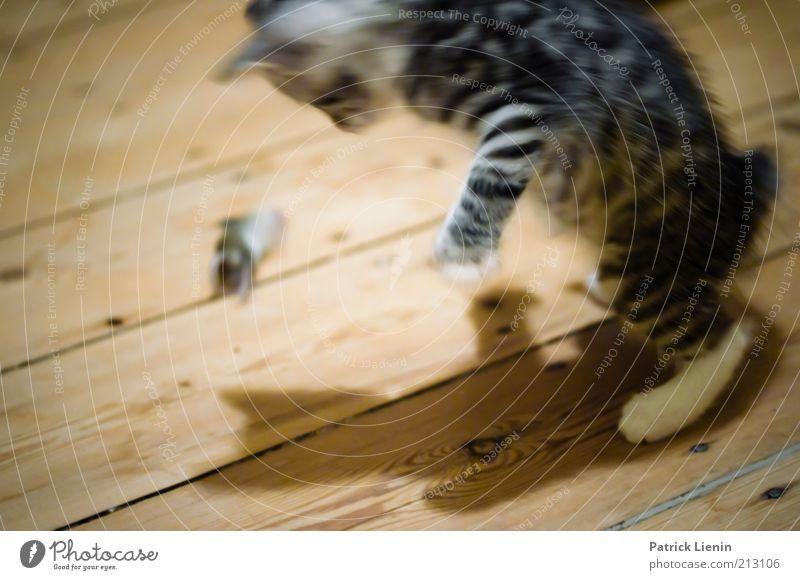 Katz und Maus Tier Haustier Totes Tier Katze 2 beobachten entdecken fangen Fressen füttern Blick außergewöhnlich Geschwindigkeit Stimmung Kraft Macht Neugier
