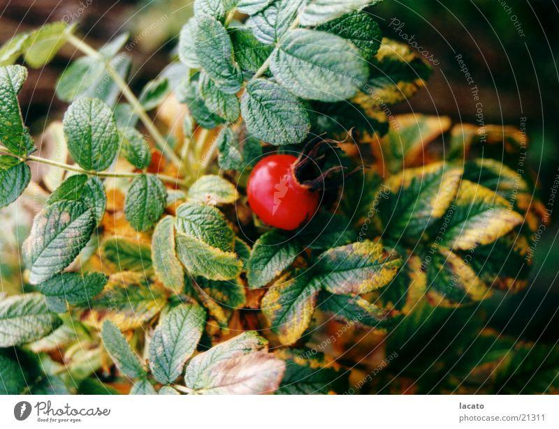 Hagebutte Natur Blatt Herbst Sträucher Rose