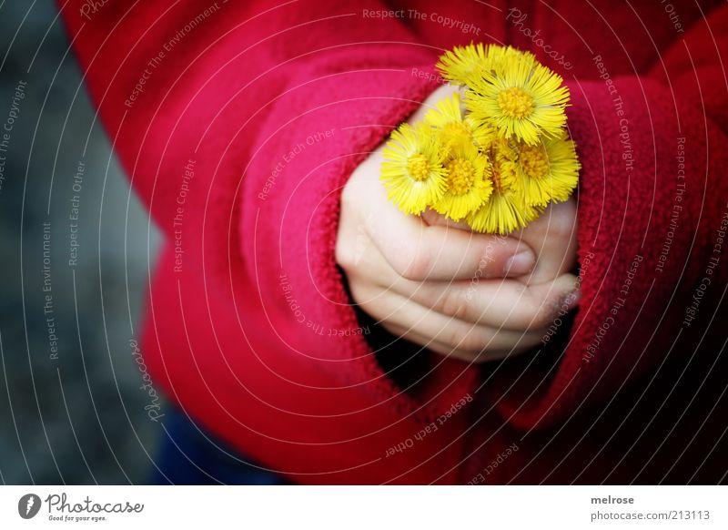 ... soll ich ? Glück Kinderspiel Mädchen Hand Finger 1 Mensch 3-8 Jahre Kindheit Umwelt Natur Blume Huflattich Jacke berühren Blühend entdecken Freundlichkeit