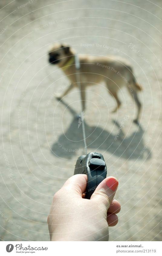 diva. Hand Hund Kitsch klein Mops ziehen stoppen Gassi gehen Spaziergang Tiertraining Farbfoto Gedeckte Farben Textfreiraum links Bewegung Hundeleine Seil