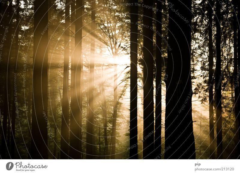 das licht scheint in der finsternis ... Natur Sonne Sonnenaufgang Sonnenuntergang Schönes Wetter Nebel Baum Baumstamm Unterholz Wald dunkel hell gold Hoffnung