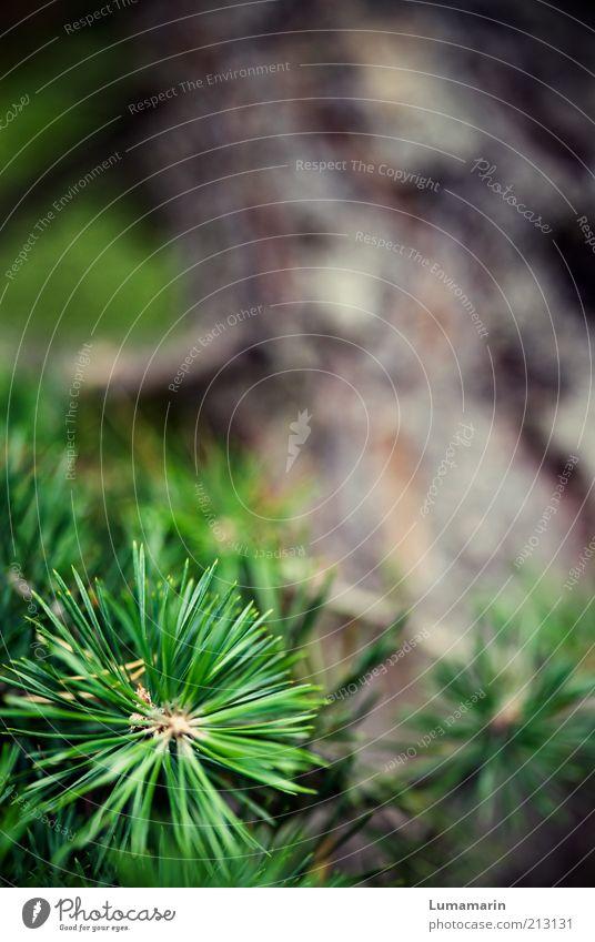 Zweigstelle Umwelt Natur Pflanze Baum frisch nah natürlich saftig schön Spitze stachelig Wärme wild grün Einsamkeit einzigartig Erholung Idylle Kraft Leben