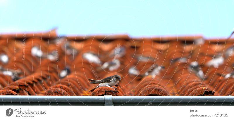 Hausbesetzer Himmel ruhig Tier Erholung Vogel sitzen Pause Dach Gelassenheit Wildtier geduldig Schwarm Dachziegel Dachrinne Zeit