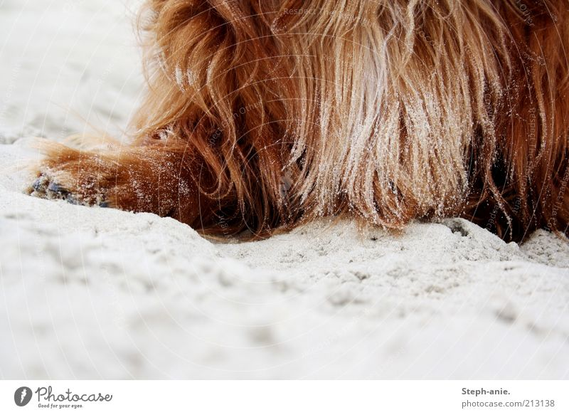 Eine sandige Angelegenheit. Hund rot Sand braun Insel Fell nah Sommerurlaub Haustier langhaarig Pfote Ferien & Urlaub & Reisen Pferd Borkum Fellfarbe
