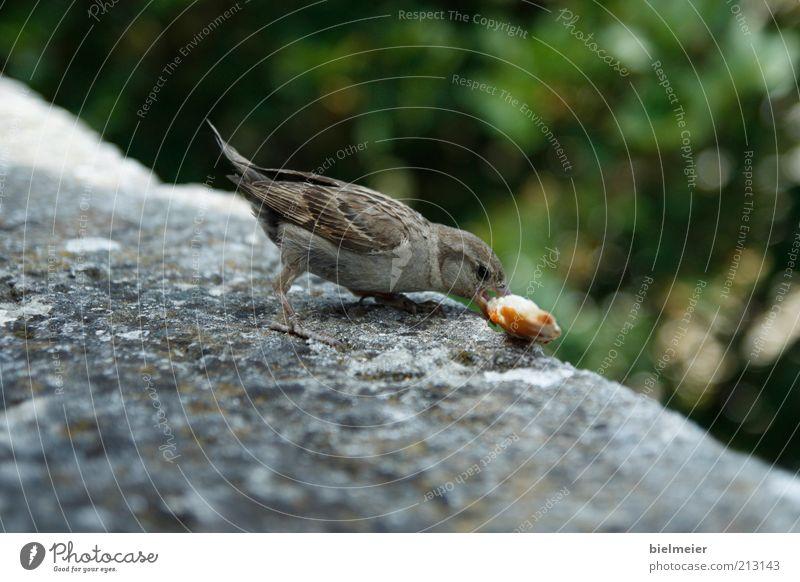 auf Essensjagd Natur grün schön Ferien & Urlaub & Reisen Tier Ernährung grau Stein Denken braun Vogel frei Fröhlichkeit süß Getreide genießen