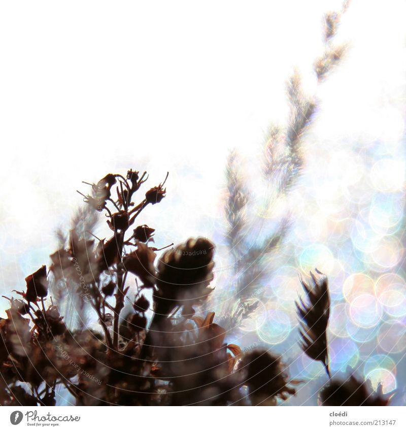stimmung i Natur Pflanze Eis Frost Blume Blühend glänzend leuchten Wachstum kalt trocken blau braun grau weiß Vergänglichkeit mehrfarbig Textfreiraum oben Licht