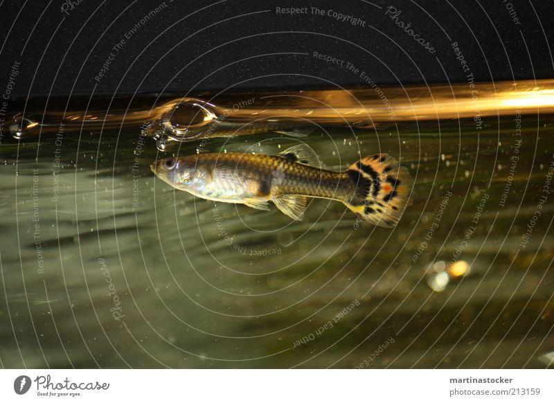 Thomas der kleine Fisch Tier 1 weiß Gelassenheit ruhig Wasser Aquarium Seifenblase Blubbern Schuppen Glas Unterwasseraufnahme Flosse Fischauge nass Menschenleer