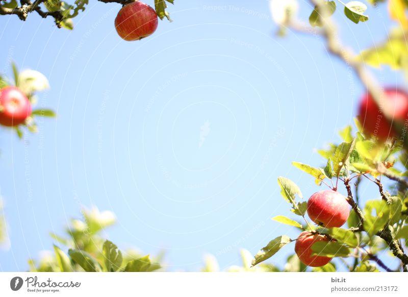 APFELKRANZ Lebensmittel Frucht Apfel Ernährung Bioprodukte Gesundheit Gesunde Ernährung Natur Pflanze Himmel Schönes Wetter frisch blau Apfelbaum Apfelernte