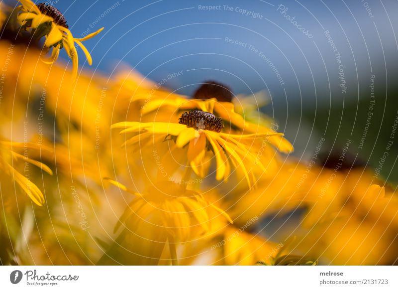 """meine """"Sonnenhüte"""" Natur Pflanze Himmel Sonnenlicht Sommer Schönes Wetter Wärme Blume Gras Blatt Blüte Wildpflanze Topfpflanze Sonnenhut Blütenstauden"""