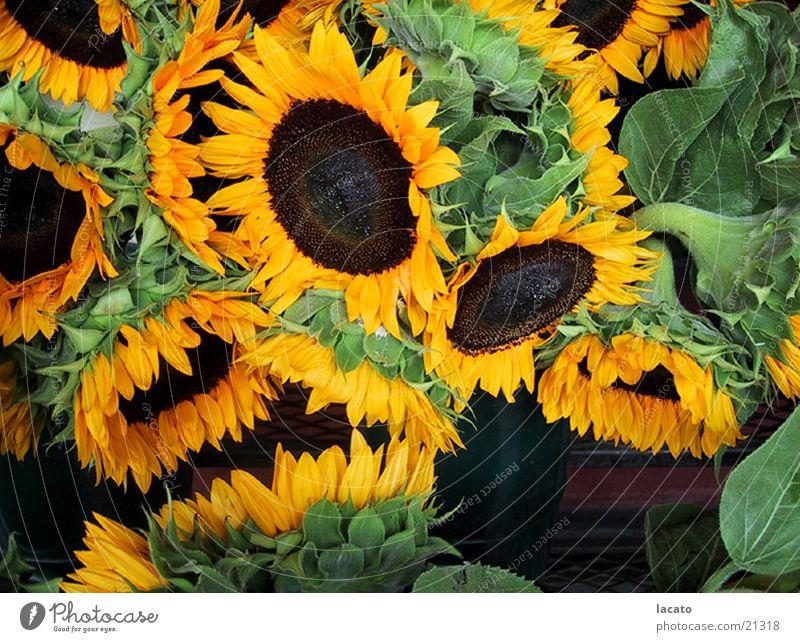 Sonnenblumen Blume Pflanze gelb Blumenstrauß Sonnenblume