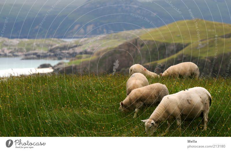 Aussichtsreich Ferien & Urlaub & Reisen Ausflug Ferne Strand Meer Umwelt Natur Landschaft Gras Wiese Hügel Felsen Küste Klippe Nutztier Schaf Tiergruppe Herde