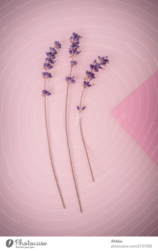 Lavendel-Dreierlei Pflanze schön Liebe Hintergrundbild rosa Dekoration & Verzierung elegant Lebensfreude Romantik 3 violett Leidenschaft Duft lang Verliebtheit