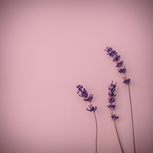 Lavendel-Dreierlei (2) Farbe schön rot Liebe Hintergrundbild Dekoration & Verzierung ästhetisch Blühend Lebensfreude Warmherzigkeit Romantik 3 violett