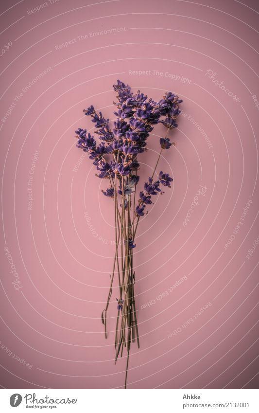 Lavendel-Strauß auf rosa Untergrund Pflanze Farbe schön ruhig Liebe Feste & Feiern Zufriedenheit Dekoration & Verzierung Blühend Lebensfreude Romantik violett