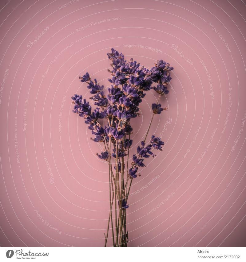 Duftsstrauß III Pflanze schön Leben rosa Fröhlichkeit Blühend Lebensfreude Romantik Freundlichkeit violett Blumenstrauß Kitsch Verliebtheit Sinnesorgane