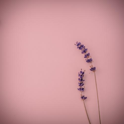 Zwei Lavendelblüten auf rosa Untergrund schön Erholung Liebe Gefühle Zusammensein Freundschaft 2 Dekoration & Verzierung Blühend Lebensfreude Romantik violett
