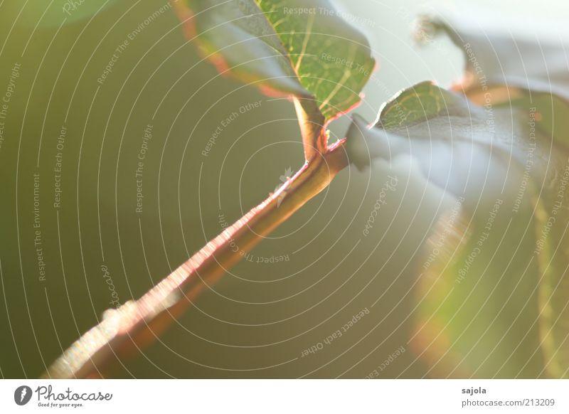 ein hauch von sommer Natur grün Pflanze Sommer Blatt Umwelt zart Licht Zweig fein Anschnitt Bildausschnitt Photosynthese Blattgrün