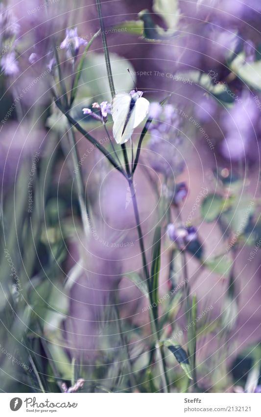 Ein Sommertag Natur Schönes Wetter Pflanze Lavendel Garten Schmetterling Flügel Weißlinge Blühend Duft schön violett Stimmung Romantik träumen Sommergefühl