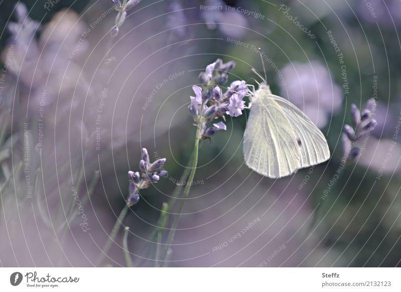 Gartenträume Natur Sommer Pflanze Lavendel Schmetterling Flügel Weißlinge Blühend Duft schön violett Stimmung Romantik träumen Sommergefühl Gartenfreude Idylle