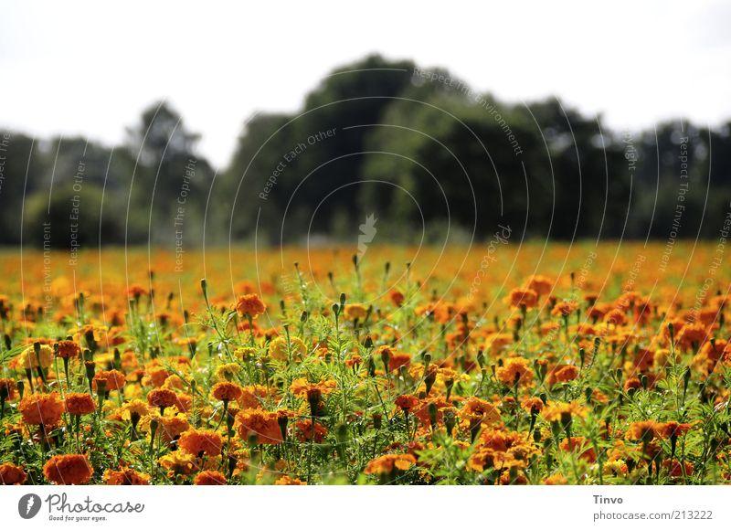 Spätsommer Natur Landschaft Pflanze Sommer Herbst Schönes Wetter Baum Blume Blüte Grünpflanze Feld Blühend orange grün Blumenwiese Farbfoto Außenaufnahme