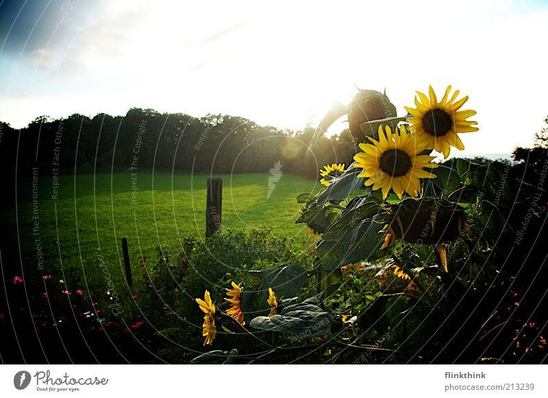 Sonnenblumen Natur Landschaft Pflanze Sonnenaufgang Sonnenuntergang Sommer Gras Grünpflanze Blume saftig blau gelb grün weiß Zufriedenheit Freiheit Farbfoto