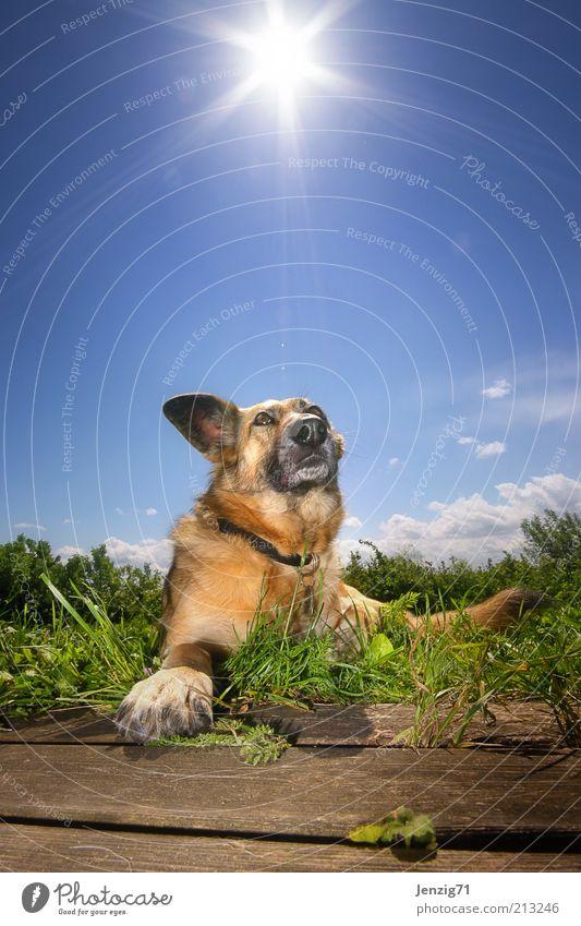 Sonne auf den Pelz. Himmel Sommer Schönes Wetter Tier Haustier Hund 1 Wärme blau Erholung Fell Schnauze Hundekopf Gegenlicht liegen Wiese Hundeschnauze Farbfoto