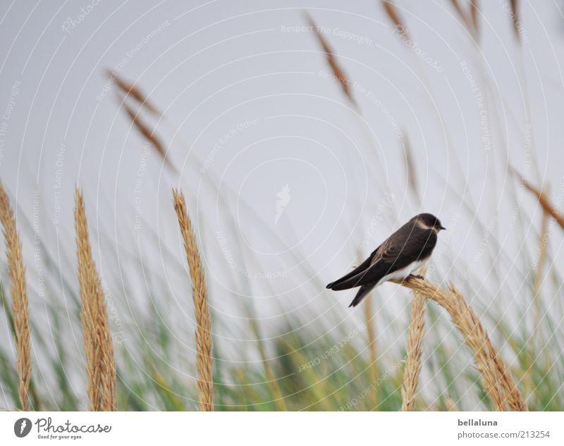 Single... Natur Himmel Pflanze Sommer Tier Freiheit Vogel Wetter Umwelt sitzen Flügel Wildtier Schönes Wetter einzeln Sommerurlaub Schwalben