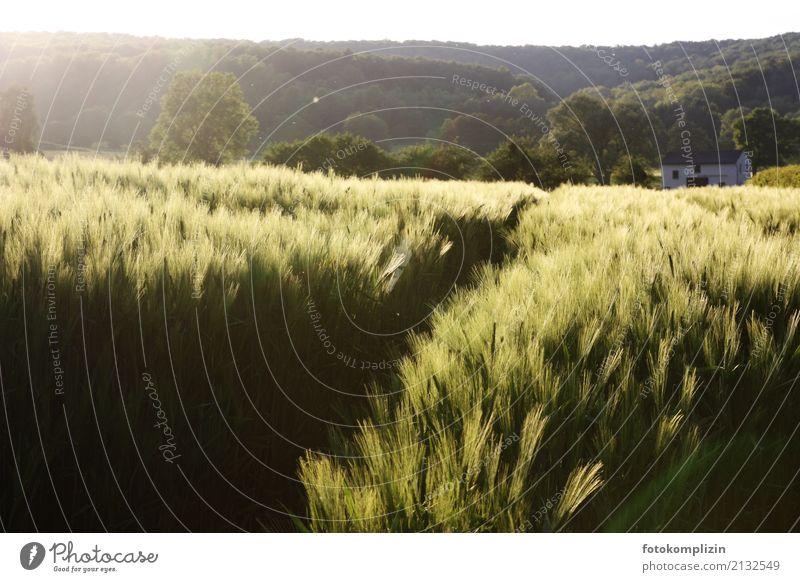 ähren land Umwelt Natur Landschaft Pflanze Sonnenlicht Sommer Feld Getreide Kornfeld Blühend leuchten Wachstum Warmherzigkeit Heimweh Reichtum kornkammer