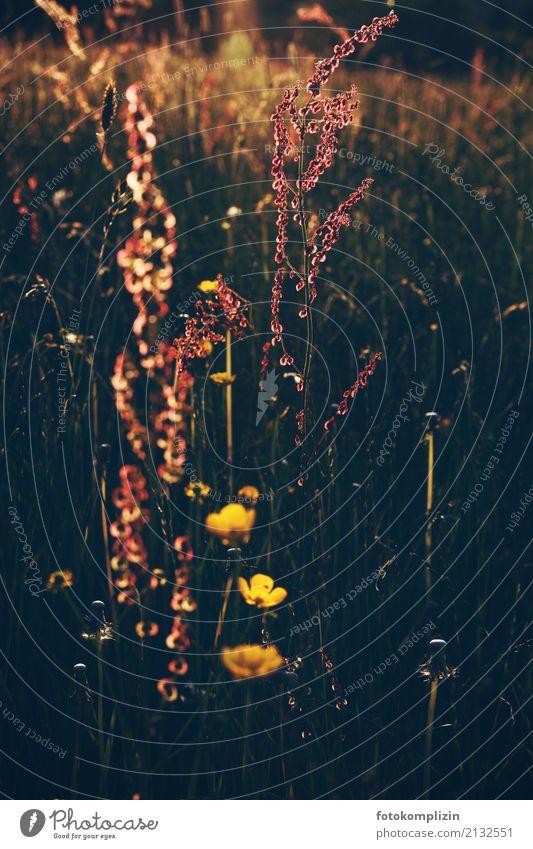 leucht wiese Pflanze Sommer Erholung ruhig gelb Blüte Wiese Stimmung leuchten Wachstum gold Idylle Blühend Lebensfreude Sehnsucht harmonisch