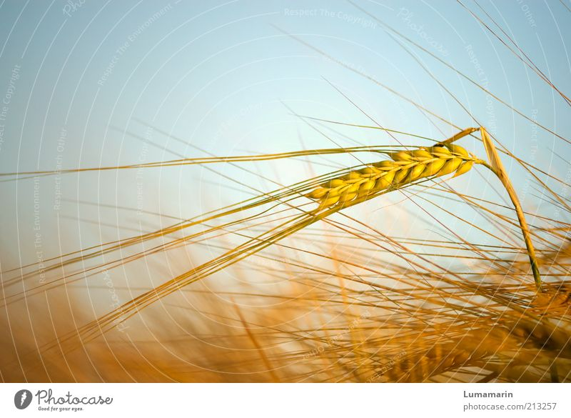 Ährentanz Lebensmittel Getreide Ernährung Gesundheit Umwelt Natur Sommer Schönes Wetter Pflanze Feld ästhetisch dünn einfach frisch lang nah natürlich schön