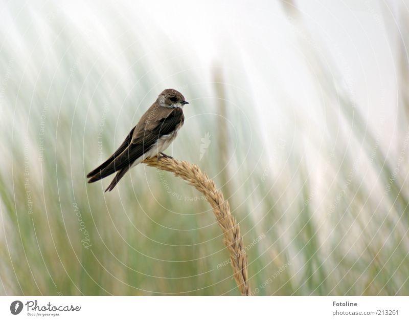 Single für Bella's Single ;-) Umwelt Natur Pflanze Tier Sommer Wildtier Vogel 1 natürlich Strandhafer Schwalben Uferschwalben frei sitzen Farbfoto mehrfarbig