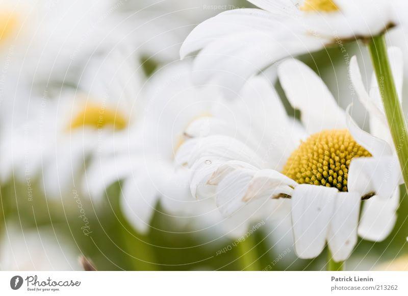 Sommertag Natur schön weiß Blume Pflanze Sommer Blüte Glück träumen Denken Umwelt frisch ästhetisch authentisch nah weich