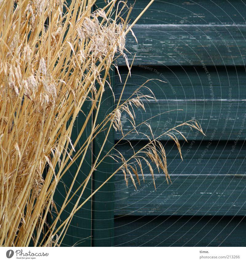 Zuneigung Gras Bündel Holz Wand Holzwand Maserung Sichtschutz blau-grün gelb trocken Dekoration & Verzierung Pflanze Wachstum anlehnen Außenaufnahme