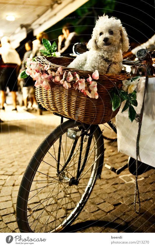 hUndstage Tier Hund Stimmung lustig Zufriedenheit Fahrrad sitzen kaufen authentisch süß Lifestyle Sicherheit Dekoration & Verzierung Güterverkehr & Logistik