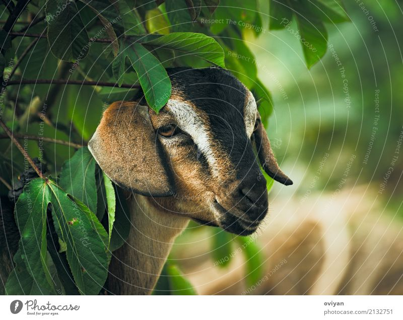 Ziege Natur Pflanze grün Baum Blatt Tier Essen Umwelt braun Lächeln Warmherzigkeit niedlich Coolness Freundlichkeit weich Säugetier