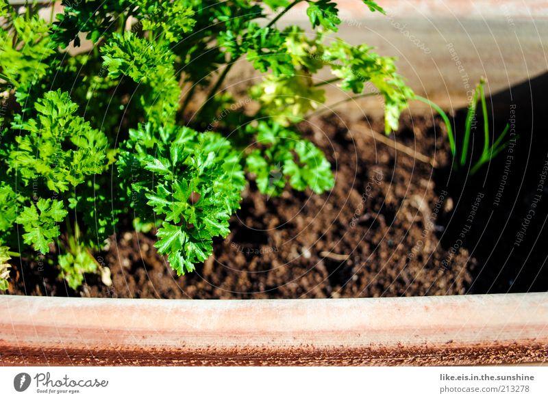 S Peterli Lebensmittel Gemüse Kräuter & Gewürze Kräutergarten Petersilie Ernährung Bioprodukte Slowfood Gesundheit Duft Sommer Pflanze Nutzpflanze genießen gut