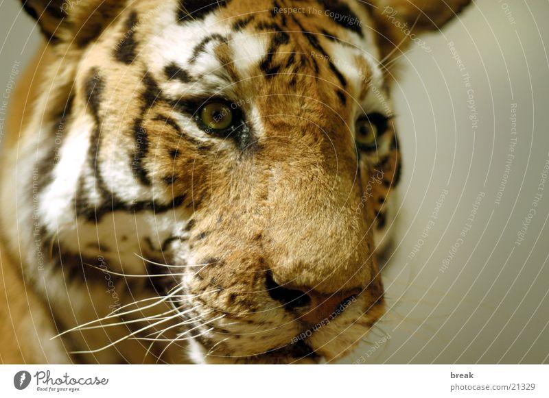 Tiger Landraubtier Nahaufname