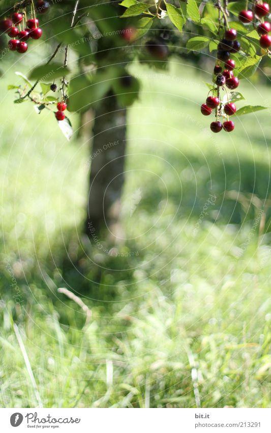 Kirschbaum Natur Baum Pflanze Sommer Blatt Ernährung Wiese Gras Landschaft Feld Gesundheit Lebensmittel Frucht süß Wachstum Ernte