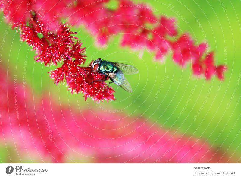 unscheinbares detail | fliege auf spiere Natur Pflanze Sommer schön grün Blume rot Tier Blatt Auge Blüte Wiese Garten fliegen rosa leuchten