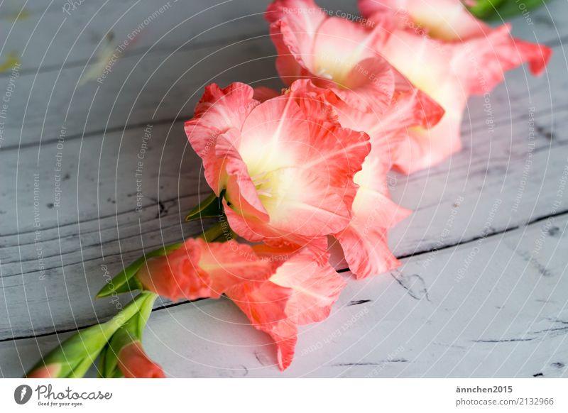 Gladiolen Natur Pflanze grün Blatt Blüte außergewöhnlich rosa hell ästhetisch Duft