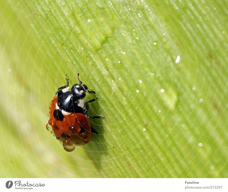 Ein Glückskäfer für Ces! Natur schön grün Pflanze rot schwarz Tier Wetter Umwelt Wassertropfen Wildtier Tau Schönes Wetter Käfer Marienkäfer krabbeln