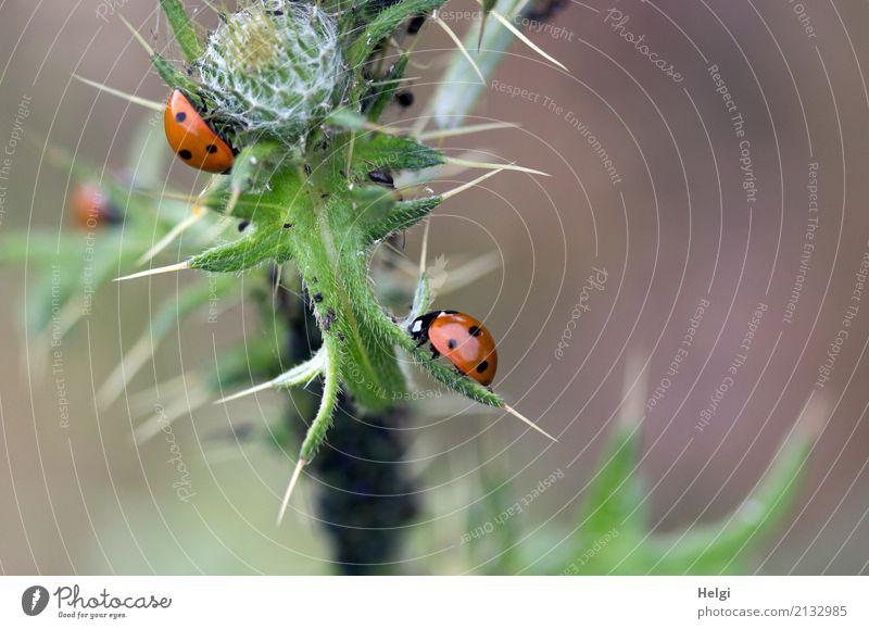spießiges Schlemmerparadies ... Umwelt Natur Pflanze Tier Sommer Blatt Distel Stachel Blütenknospen Feld Käfer Marienkäfer Blattläuse 3 Fressen krabbeln