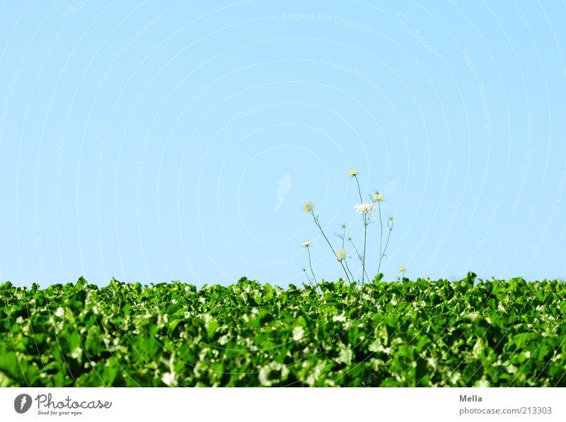 Alles Gute! grün blau Pflanze Feld Wachstum Blauer Himmel Wolkenloser Himmel Wildpflanze