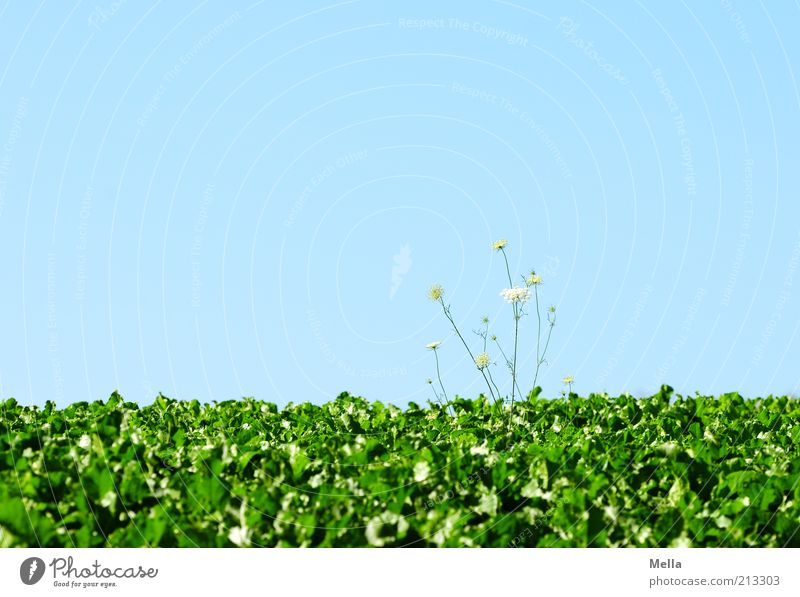 Alles Gute! Pflanze Wildpflanze Feld Wachstum blau grün Farbfoto mehrfarbig Außenaufnahme Menschenleer Textfreiraum oben Tag Textfreiraum Mitte
