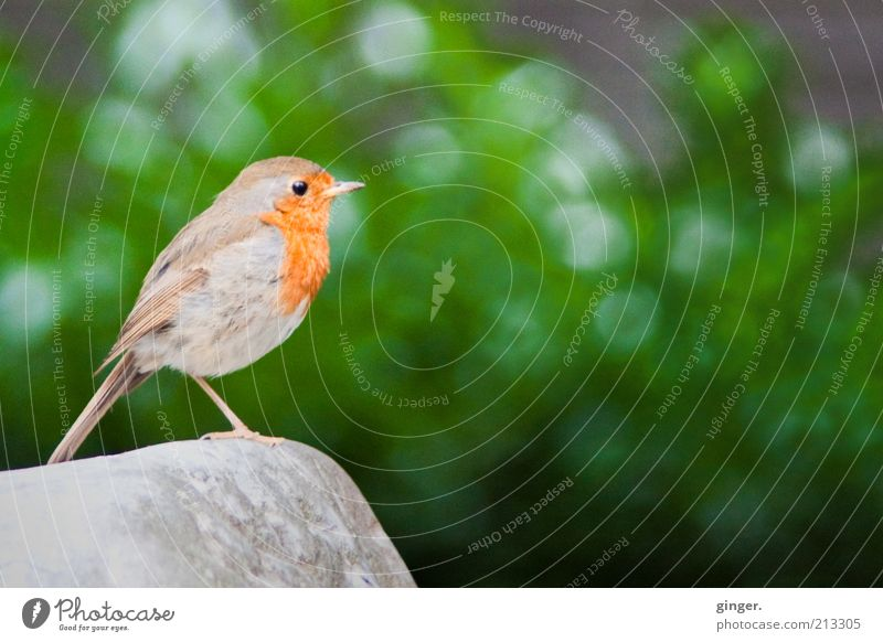 """""""Vögelchen jubiliere doch mal!"""" Tier Sträucher Wildtier Vogel Flügel 1 stehen Rotkehlchen Stein Aufenthalt Gezwitscher einbeinig Textfreiraum Mitte"""