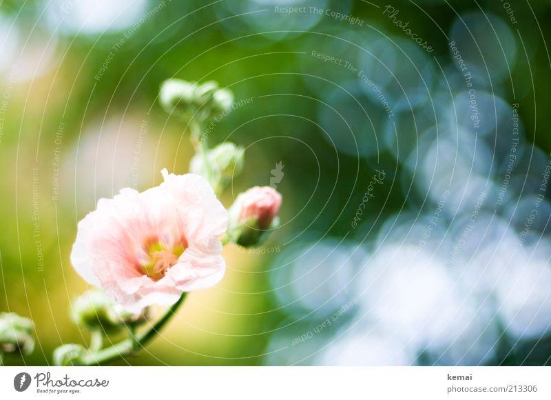 Klassisch: Blumen zur Hochzeit Umwelt Natur Pflanze Sommer Schönes Wetter Wärme Blüte Grünpflanze Wildpflanze Rose Blühend Duft Wachstum grün rosa Farbfoto