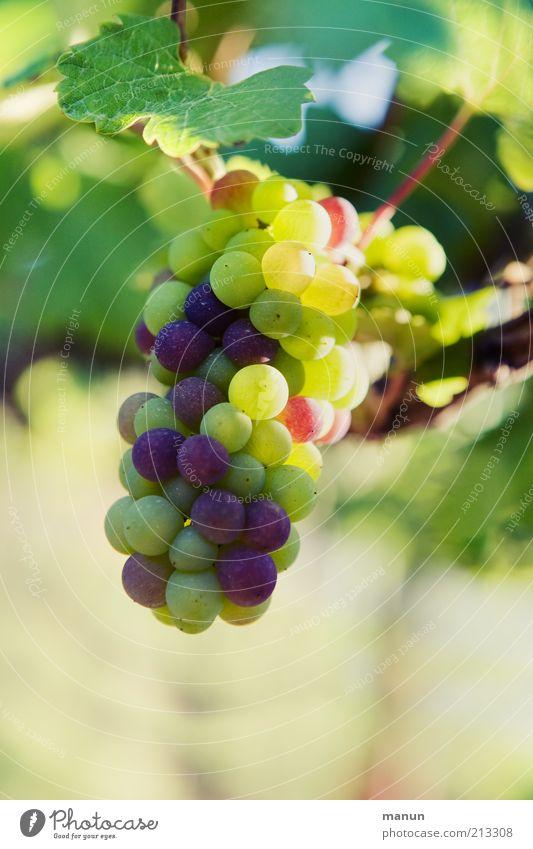 Trauben Frucht Bioprodukte Natur Pflanze Nutzpflanze Wein Weintrauben Weinbau Weinblatt Weinlese Wachstum authentisch frisch Gesundheit lecker natürlich rund