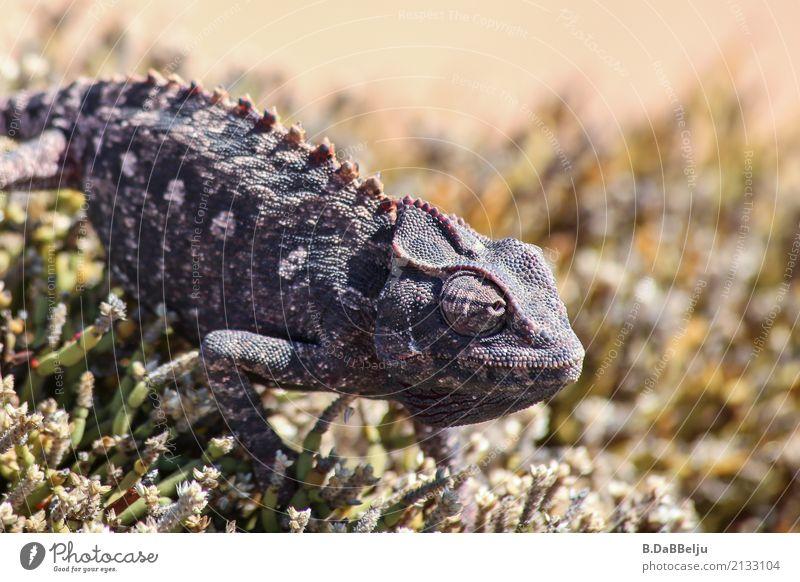 fokussiert Tourismus Ausflug Abenteuer Ferne Safari Expedition Natur Tier Wärme Dürre Wüste Wildtier 1 achtsam Namibia fokussieren Nervosität Afrika Chamäleon