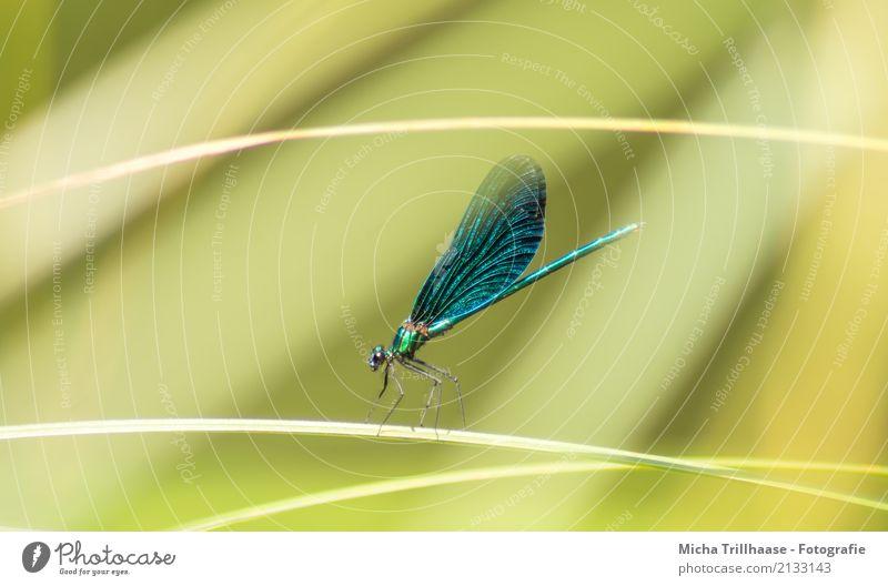 Libelle auf einem Grashalm Umwelt Natur Tier Sonne Sonnenlicht Schönes Wetter Wildtier Tiergesicht Flügel Libellenflügel Insekt Beine Auge 1 fliegen leuchten